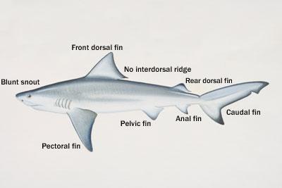 similiar tiger shark diagram keywords info tiger shark tiger shark anatomy