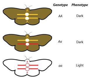 Riverview Science / Genotype vs Phenotpye