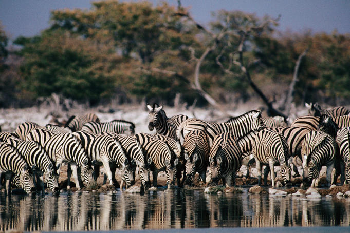 zebras running from predator - photo #22