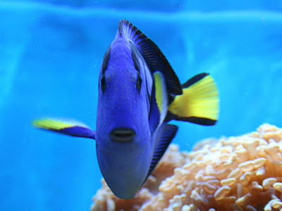 Riverview science kersten dewey9 for Royal blue tang fish